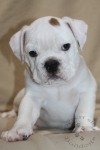 Title:Marshmallow Martin 7 Weeks Old Views:257